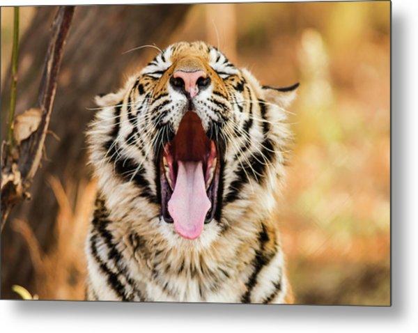 Tiger Yawn Metal Print by John Mckeen
