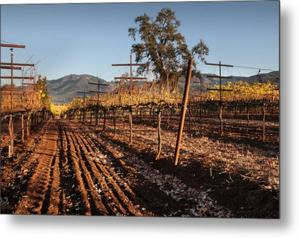 Tilling The Vineyards Metal Print by Kent Sorensen