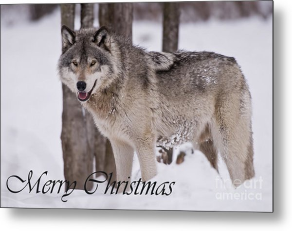 Timber Wolf Christmas Card English 3 Metal Print