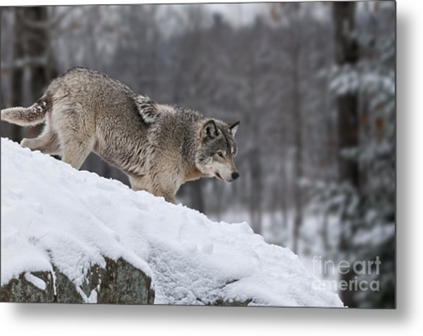 Timber Wolf On Hill Metal Print
