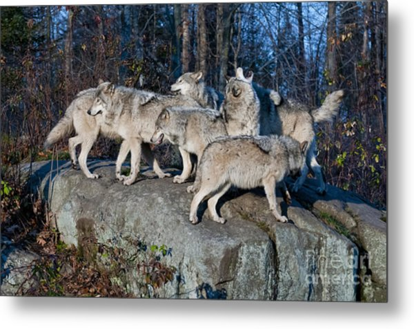 Timber Wolf Pack Metal Print
