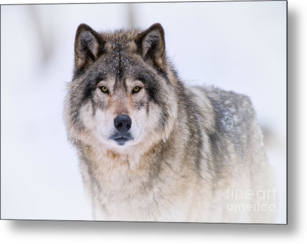 Timber Wolf Pictures 256 Metal Print