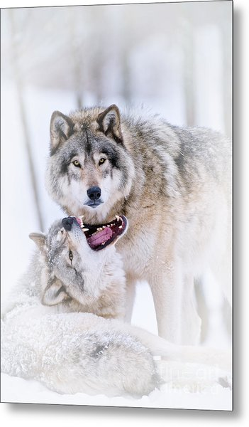 Timber Wolf Pictures 56 Metal Print