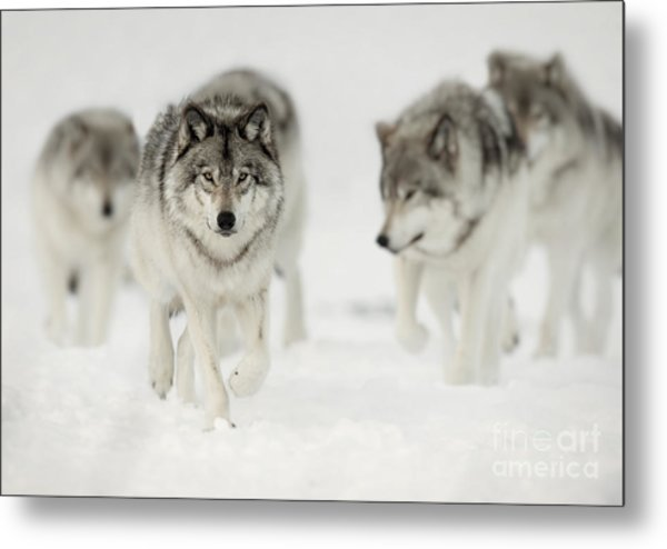 Timber Wolf Pictures 65 Metal Print