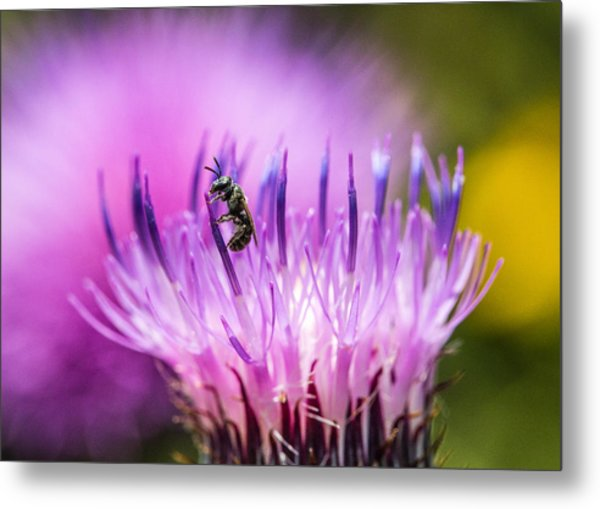 Tiny Dark Bee On Texas Thistle Metal Print