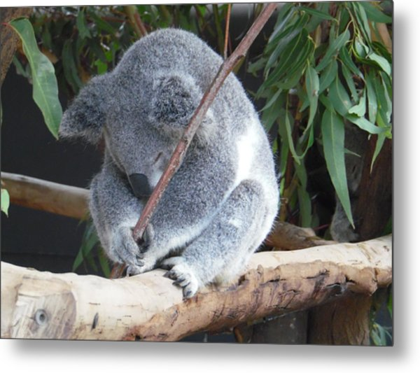Tired Koala Bear With Stick Metal Print
