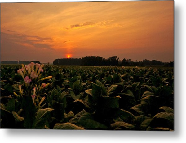 Tobacco Flowers At Dawn  Metal Print