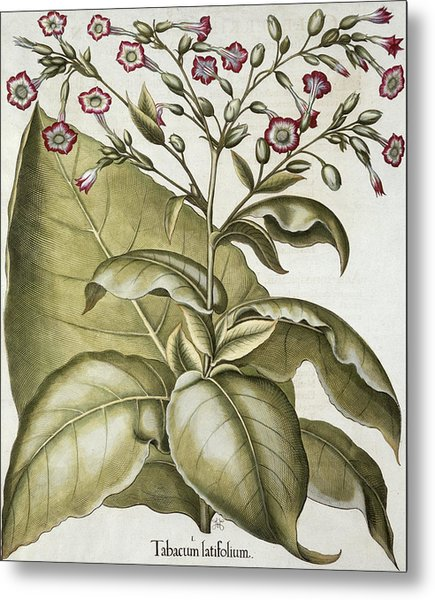 Tobacco Plant, From The Hortus Metal Print