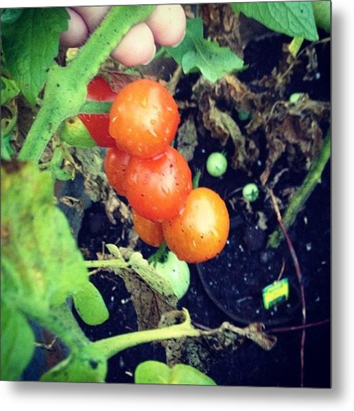 #tomatoes Yum #breakfast Metal Print