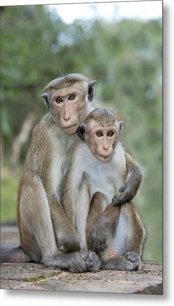 Toque Macaque Embrace Metal Print