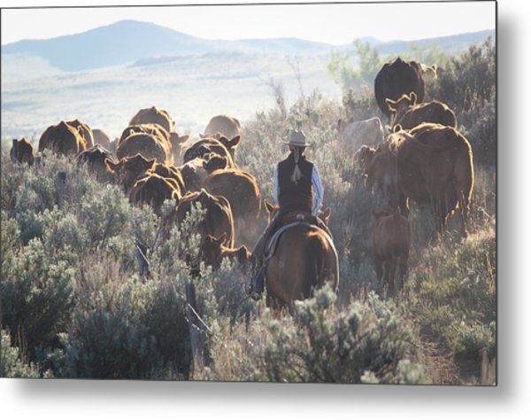 Trailing Cattle Metal Print