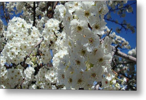 Tree Blossom  Metal Print by Iam Wayne