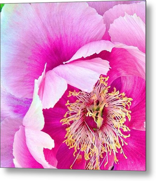 Tree Peony....what An Amazing Flower Metal Print