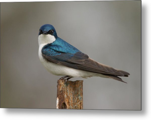 Tree Swallow In Mating Colors Metal Print by Doug Underwood