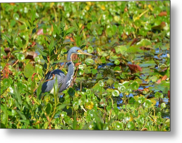 Tri Colored Heron 2 Metal Print