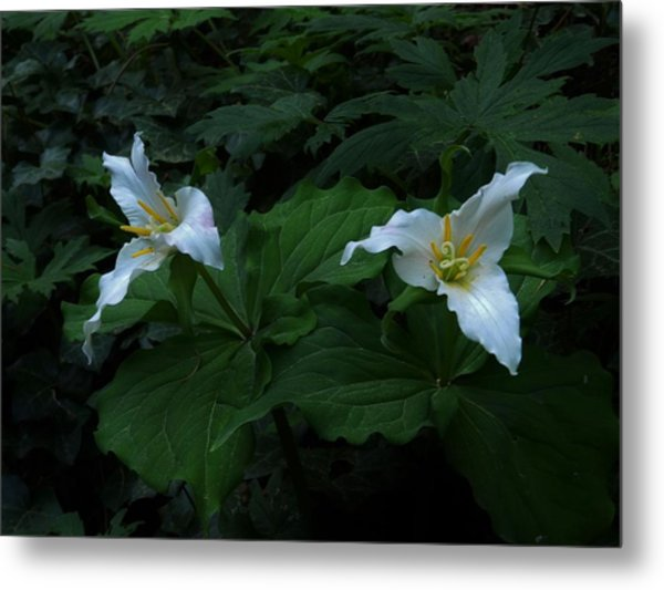 Trillium's Of The Wildwood Metal Print by Charles Lucas