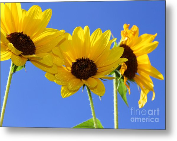 Trio In The Sun - Yellow Daisies By Diana Sainz Metal Print