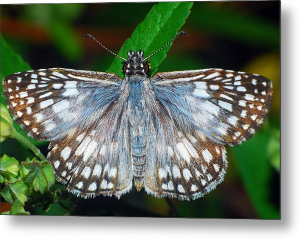 Tropical Checkered Skipper Metal Print