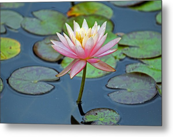 Tropical Pink Lily Metal Print