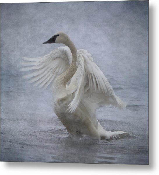 Trumpeter Swan - Misty Display Metal Print