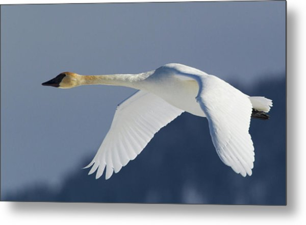 Trumpeter Swan, Winter Flight Metal Print by Ken Archer