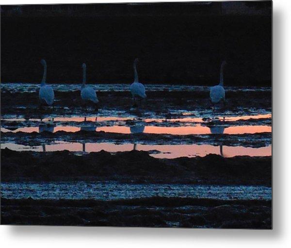 Trumpeter Swans In Pink Metal Print