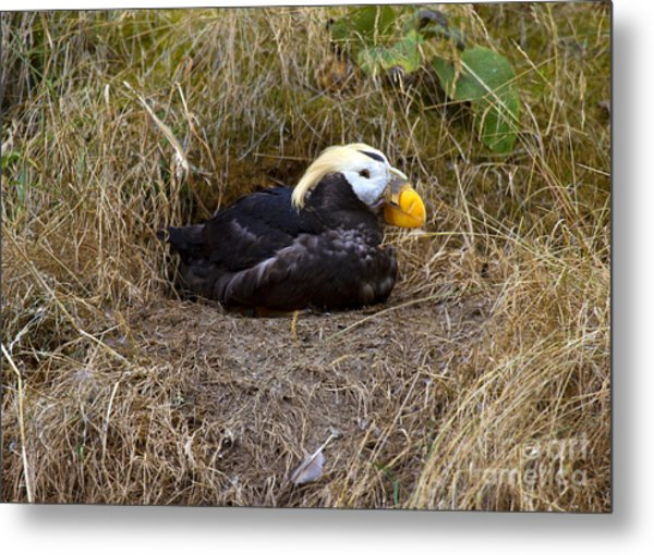 Tufted Puffin Metal Print