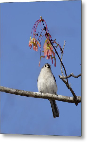 Metal Print featuring the photograph Tufted Titmouse And Maple Keys by Daniel Reed