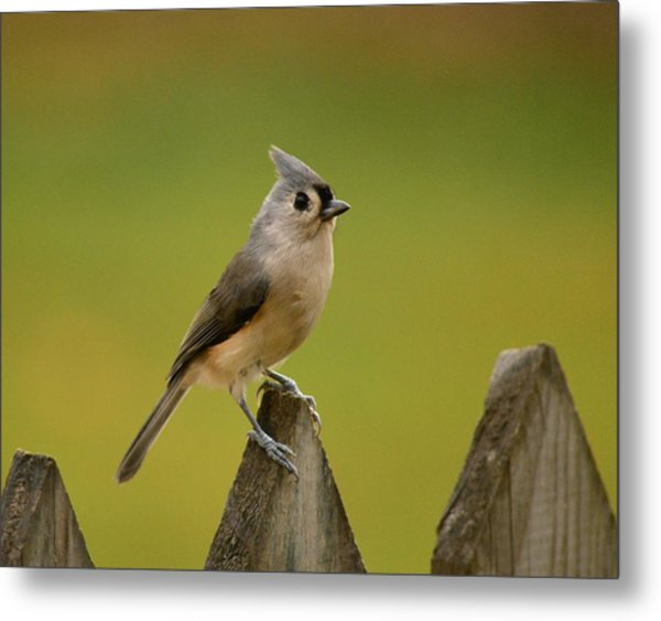Tufted Titmouse Metal Print by Judy Genovese
