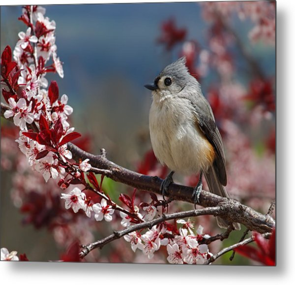 Tufted Titmouse On Ornamental Plum Blossoms Metal Print