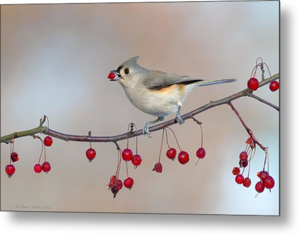 Tufted Titmouse With Red Berry Metal Print