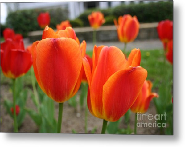Tulip Collection Photo 2 Metal Print