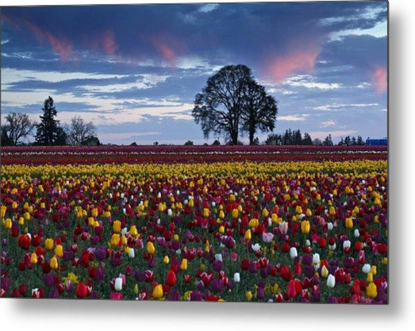 Tulip Field's Last Colors Metal Print