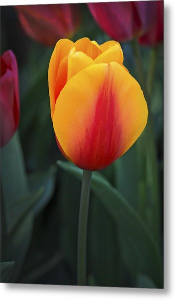 Tulip Flame Metal Print by David Lunde