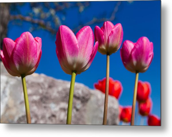 Tulip Revival Metal Print