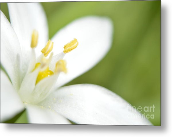 Tulip Shmulip Metal Print by Sheldon Blackwell
