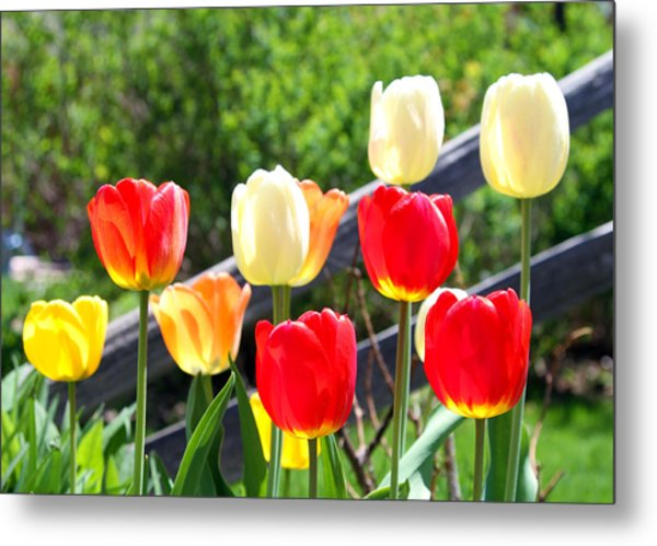 Tulips Aglow Metal Print by James Hammen