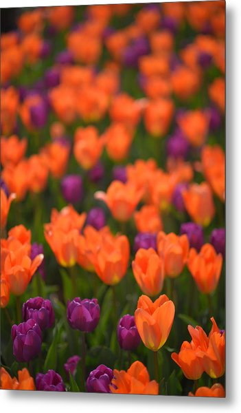 Tulips At Clevelands Botanical Gardens Metal Print