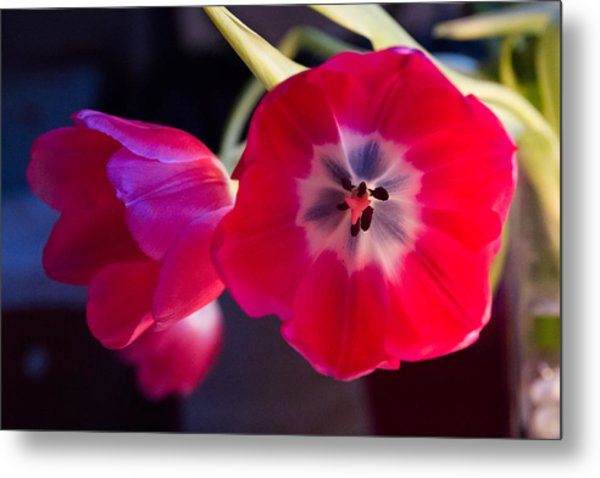 Metal Print featuring the photograph Tulips Mixed Light by Paul Indigo