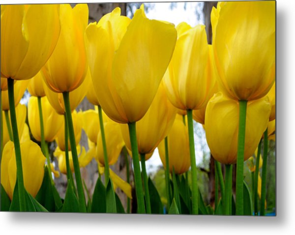Tulips Of Gold Metal Print by Sally Nevin