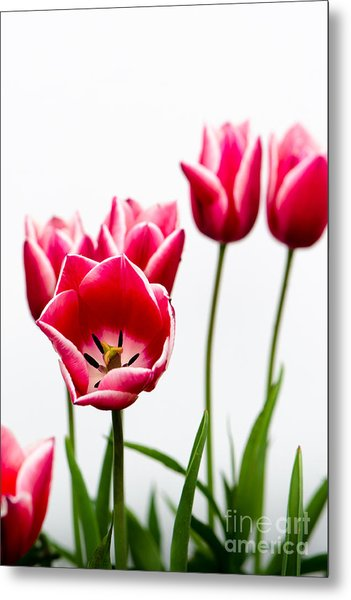 Tulips Say Hello Metal Print