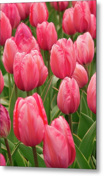 Tulips (tulipa 'design Impression') Metal Print by Adrian Thomas/science Photo Library