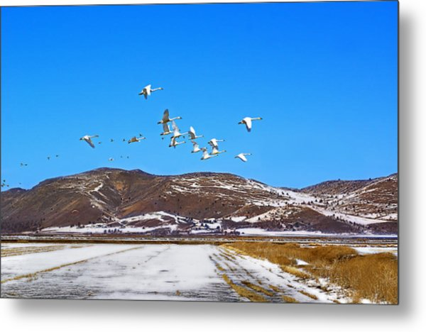 Tundra Swans Take Flight  Metal Print