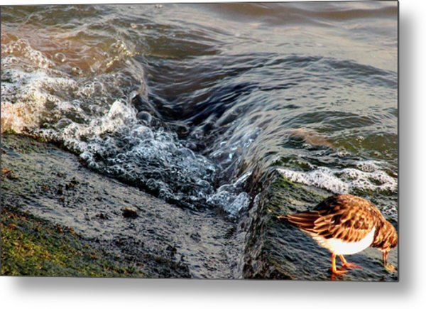 Turnstone By The Water Metal Print
