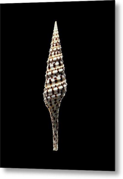 Turrid Sea Snail Shell Metal Print