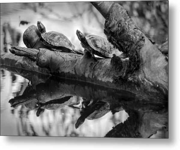 Turtle Bffs Bw By Denise Dube Metal Print
