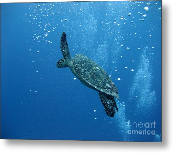 Turtle With Divers' Bubbles Metal Print by Alan Clifford