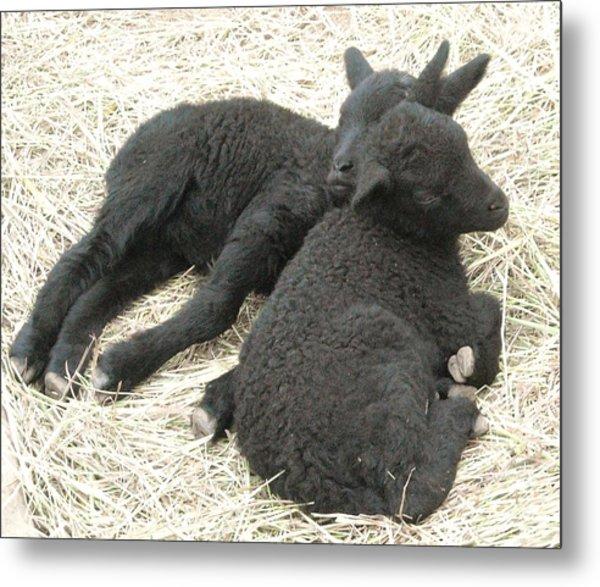 Twin Black Lambs Metal Print