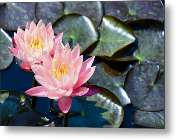 Two Pink Waterlilies Metal Print