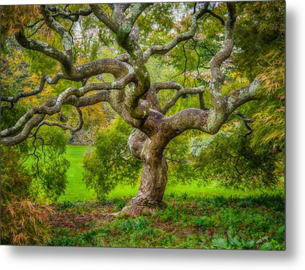 Twisted Maple Metal Print